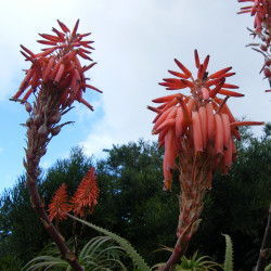 Aloe pluridens de Andrew massyn, CC BY-SA 3.0 via Wikimedia Commons