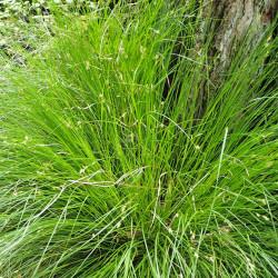 Carex remota de Krzysztof Ziarnek, Kenraiz, CC BY-SA 4.0 , via Wikimedia Commons