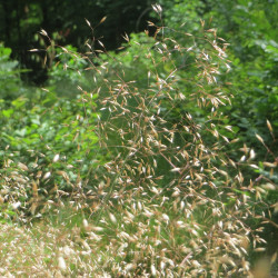 Avenella flexuosa de AnRo0002, CC0, via Wikimedia Commons
