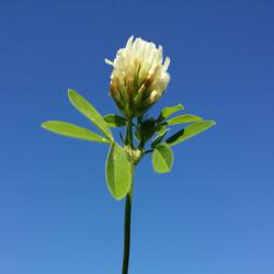 Trifolium alexandrinum de Stefan.lefnaer, CC BY-SA 4.0, via Wikimedia Commons