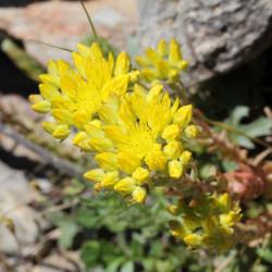 Sedum_rupestre_subsp._reflexum par Joan Simon de Barcelone, Espagne de wikimedia commons