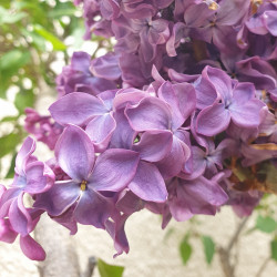 Syringa vulgaris par Semences du Puy