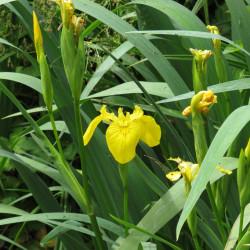 Iris pseudacorus de Robert Flogaus-Faust, CC BY 4.0, via Wikimedia Commons