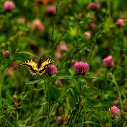 Trifolium pratense de Falk Lademann from Glattfelden, Switzerland, CC BY 2.0, via Wikimedia Commons