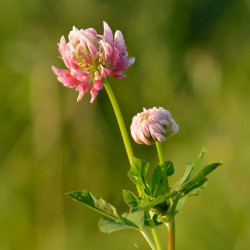 Trifolium hybridum de Ivar Leidus, CC BY-SA 3.0, via Wikimedia Commons