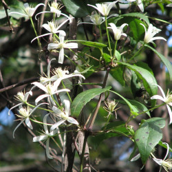 Clematis aristata de Melburnian, CC BY 3.0, via Wikimedia Commons