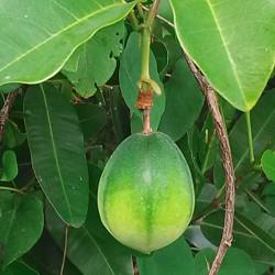 Passiflora laurifolia de Filo gèn', CC BY-SA 4.0, via Wikimedia Commons