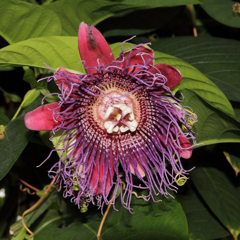 Passiflora quadrangularis de CT Johansson, CC BY-SA 3.0, via Wikimedia Commons