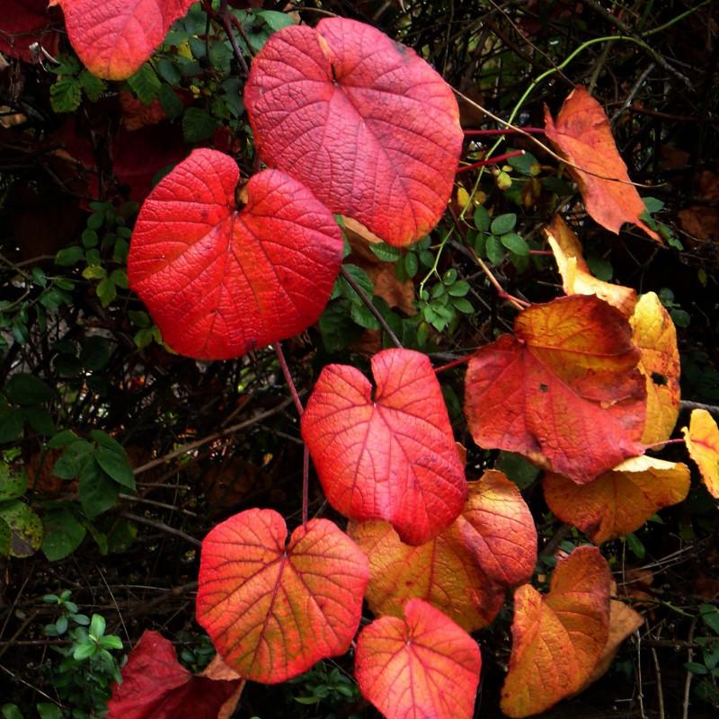 Vitis coignetiae de peganum from Small Dole, England, CC BY-SA 2.0, via Wikimedia Commons.jpg