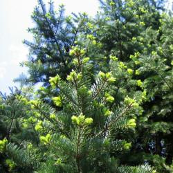 Abies holophyllade Agnieszka Kwiecień (Nova), CC BY-SA 3.0, via Wikimedia Commons