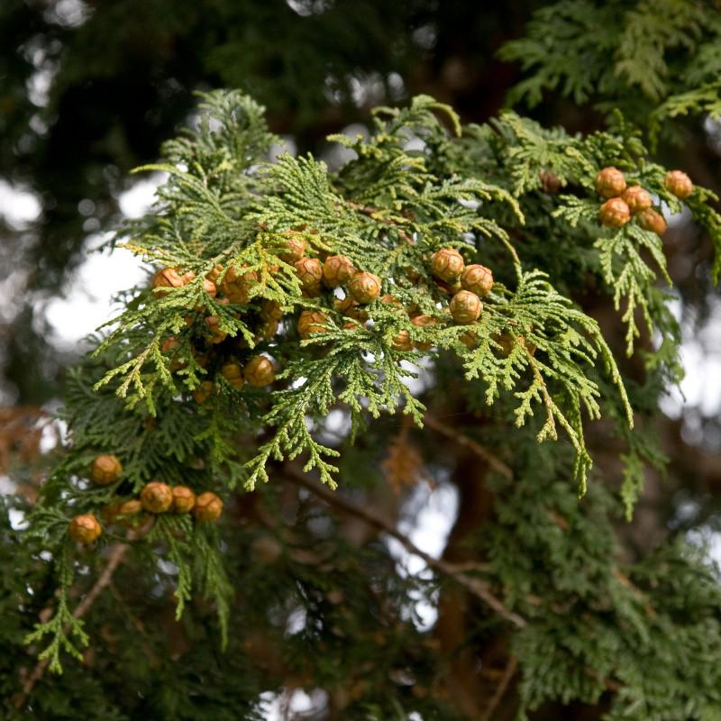 Chamaecyparis obtusa de Σ64, CC BY 4.0, via Wikimedia Commons