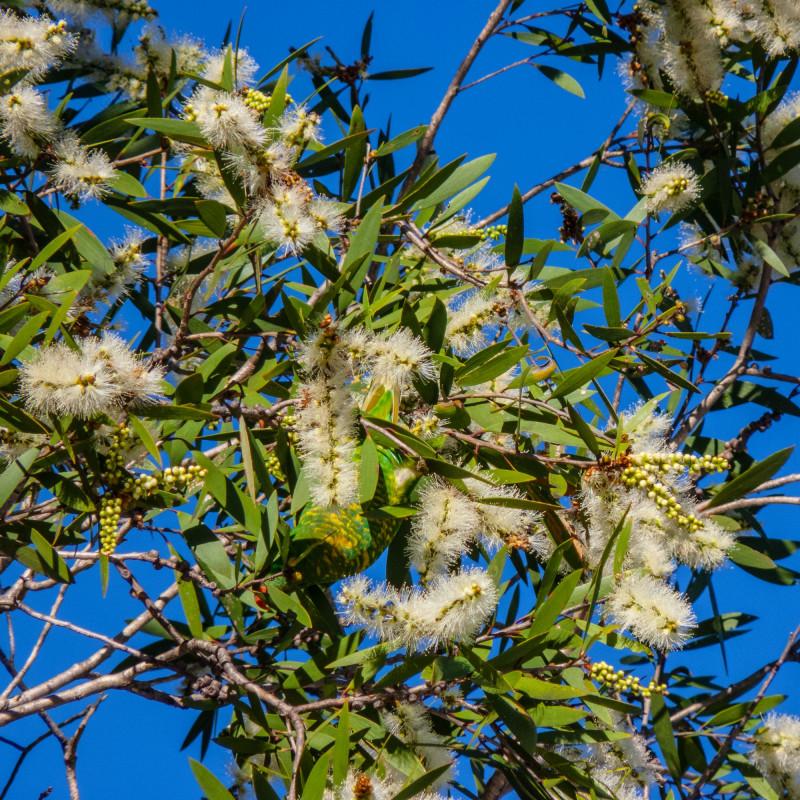 Melaleuca quinquenervia par John Robert McPherson de Wikimedia commons