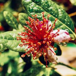 Feijoa sellowiana par Nicholas Demetriades de Pixabay
