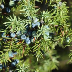 Juniperus communis par SonjavdK de Pixabay