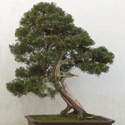 Juniperus chinensis de Peter coxhead, CC0, via Wikimedia Commons