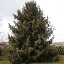 Picea breweriana de Meneerke bloem, CC BY-SA 3.0, via Wikimedia Commons