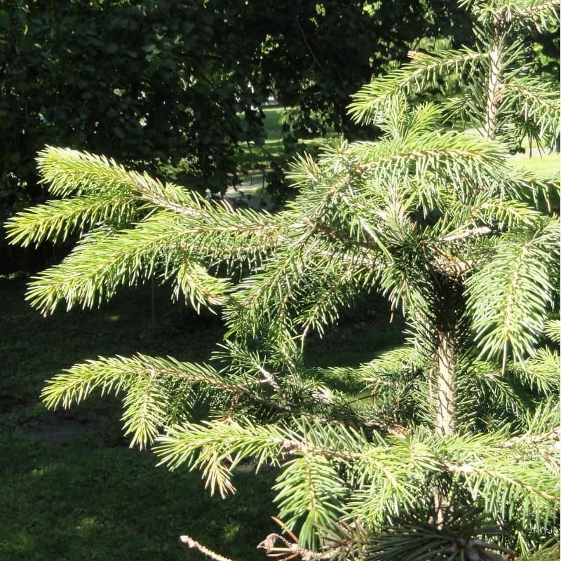 Picea schrenkiana de Daderot, CC0, via Wikimedia Commons
