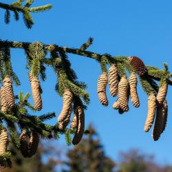 Picea abies de H. Zell, CC BY-SA 3.0, via Wikimedia Commons