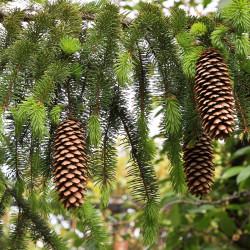 Picea abies de Plamen Agov studiolemontree.com, CC BY-SA 3.0, via Wikimedia Commons