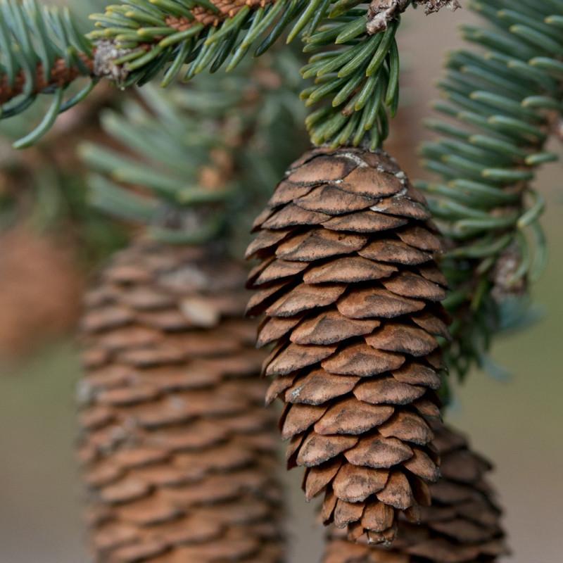 Picea koyamai de Plant Image Library from Boston, USA, CC BY-SA 2.0, via Wikimedia Commons