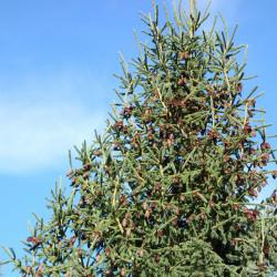 Picea purpurea de Daderot, CC0, via Wikimedia Commons