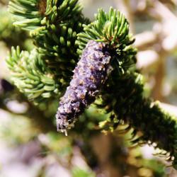 Pinus longaeva de housegirl photos from US, CC BY-SA 2.0, via Wikimedia Commons