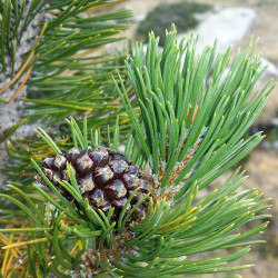 Pinus uncinata de Joan Simon from Barcelona, España, CC BY-SA 2.0, via Wikimedia Commons