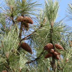 Pinus pinaster de S. Rae d'Ecosse, Royaume-Uni, CC BY 2.0, via Wikimedia Commons