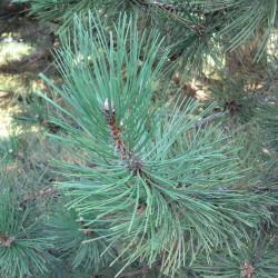 Pinus nigra laricio de Ligne 1, CC BY-SA 3.0, via Wikimedia Commons
