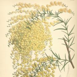 Acacia riceana de Swallowtail Garden Seeds from Santa Rosa, California, United States, CC BY 2.0, via Wikimedia Commons