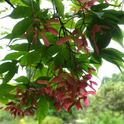 Acer palmatum subsp. matsumurae de Daderot, CC0, via Wikimedia Commons