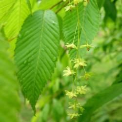 Acer carpinifolium de Daderot, CC0, via Wikimedia Commons