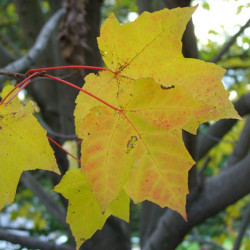 Acer saccharum de Common-Pics, CC BY-SA 3.0, via Wikimedia Commons