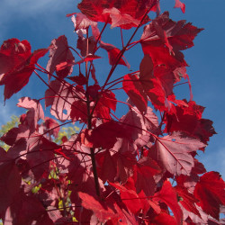 Acer rubrum de Alex Lomas, CC BY 2.0, via Wikimedia Commons