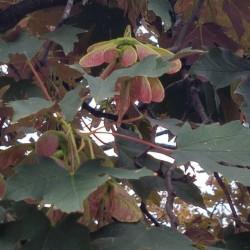 Acer pseudoplatanus atro Semences du Puy