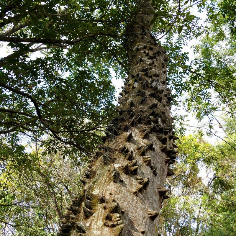 Zanthoxylum riedelianum par Patricia dos Santos de Wikimedia commons