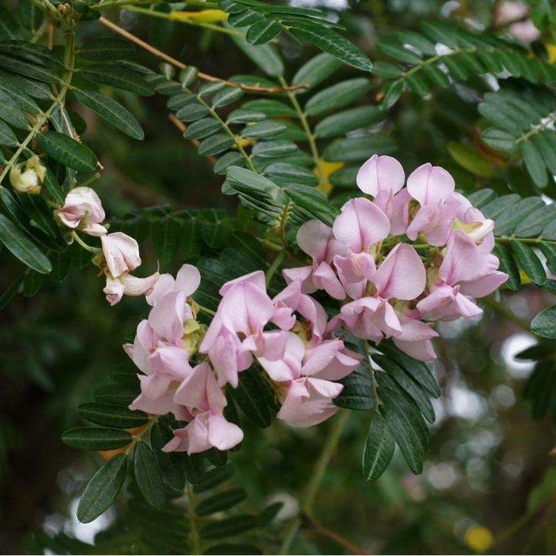 Virgilia capensis par Tatiana Gerus de Wikimedia commons