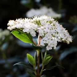 Viburnum tinus par Sonja Kalee de Pixabay