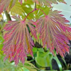 Acer japonicum 'Aconitifolium'de James Steakley, CC BY-SA 3.0, via Wikimedia Commons