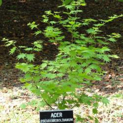 Acer pseudosieboldianum de Daderot, Public domain, via Wikimedia Commons