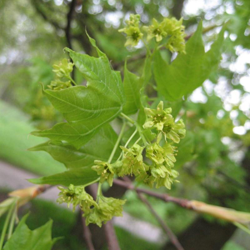 Acer mono de Christian Hummert (Ixitixel), CC BY-SA 3.0, via Wikimedia Commons
