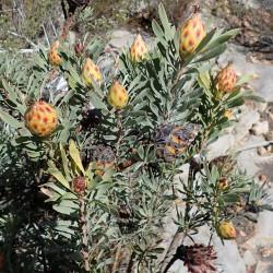 Leucadendron rubrum par Nicola van Berkel de Wikimedia commons