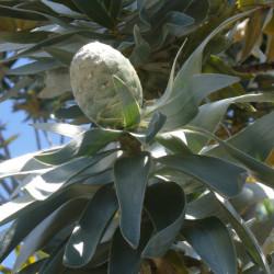 Leucadendron argenteum par Andrew Massyn de Wikimedia commons