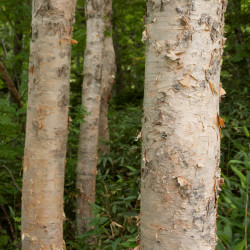 Betula platyphylla var. japonica de Σ64, CC BY 3.0, via Wikimedia Commons