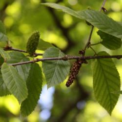 Betula alleghaniensis de Anneli Salo, CC BY-SA 3.0, via Wikimedia Commons