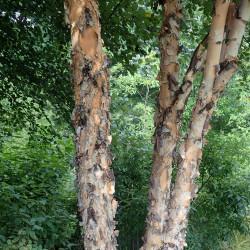 Betula nigra de Krzysztof Ziarnek, Kenraiz, CC BY-SA 4.0, via Wikimedia Commons