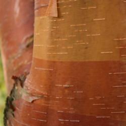 Betula albosinensis de Sten, CC BY-SA 3.0, via Wikimedia Commons