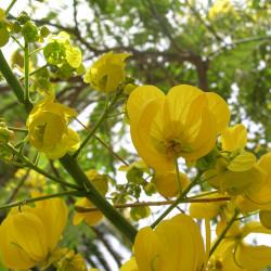 Cassia spectabilis de Solanum, Public domain, via Wikimedia Commons