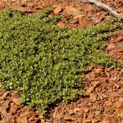 Ceanothus prostratus de Chaney Swiney, CC BY-SA 4.0, via Wikimedia Commons