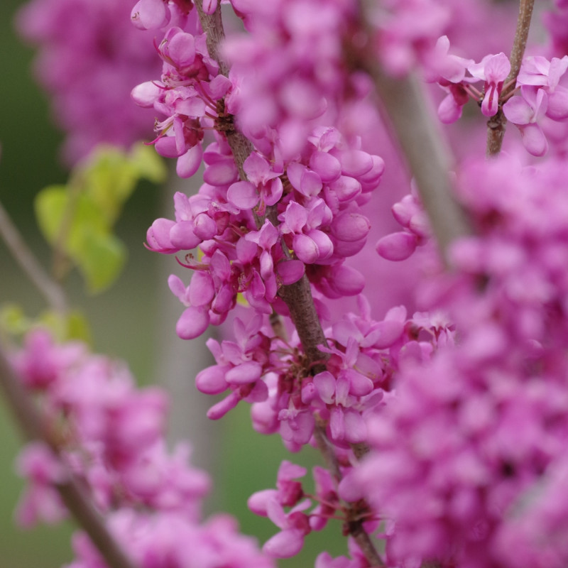 Cercis Chinensis de Chihiro H, CC BY 3.0, via Wikimedia Commons